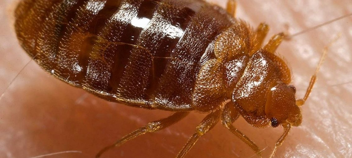 A Step-by-Step Manual for Getting Rid of Bed Bugs
